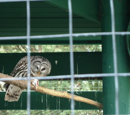 Owl eating Mouse at Edmonton Valley Zoo by Sheree Zielke