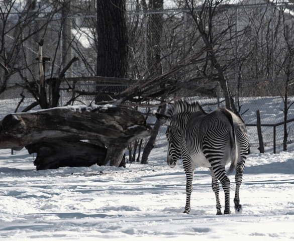Zebra by Sheree Zielke
