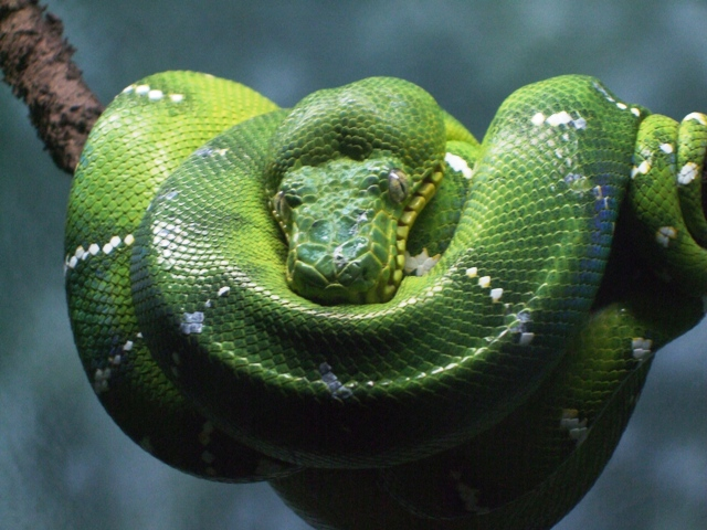 Emerald Boa at Central Park Zoo by Sheree Zielke