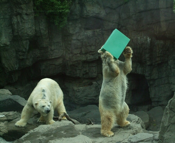 Polar Bear in Central Park Zoo Plays with Box by Sheree Zielke