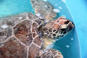 Be sure to pay a visit to these special patients the next time you are in the Florida Keys.